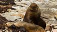 Familia de lobos marinos. Mientras la madre cría a su retoño, el padre vigila y marca el territorio con fiereza.