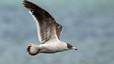 Ejemplar joven de gaviota austral. Suelen congregarse alrededor de las colonias de otras aves marinas en busca de oportunidades de alimentarse.