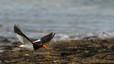 El ostrero de Magallanes vive normalmente en pequeños grupos y busca su alimento entre las rocas, normalmente moluscos que arranca con el pico.