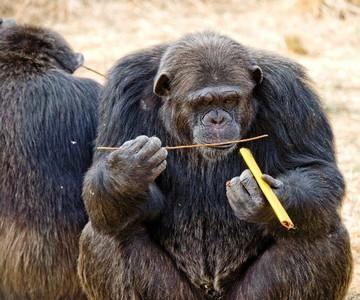 Uno de los gorilas que han participado en el estudio.