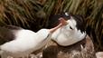 Albatros ojeroso en el nido. Una vez el pollo sale del hueo, los padres continúan protegiéndolo dentro del nido con su cuerpo.