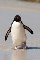 Pingüino de penacho amarillo regresando de pescar. A estas aves también se las denomina pingüino salta rocas por su manera de trepar por los acantilados.