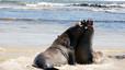 Elefantes marinos jóvenes disputando en la playa.
