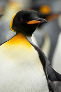 Pingüino rey. Es la segunda especie más grande de su género, puede alcanzar los 15 kilos de peso y se sumerge hasta los 200 metros de profunidad en busca de peces y crustáceos.