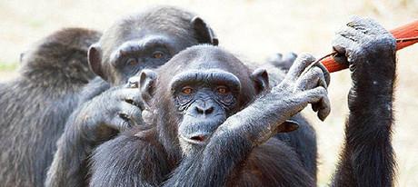 Chimpancés que han participado en el experimento de la fundación Mona.