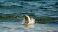 Pingüino papúa en el momento de ponerse en pie. Estas aves nadan realizando grandes saltos fuera del agua para poder vigilar la presencia de sus depredadores naturales, las focas. En los últimos tramos de acercamiento a la playa nadan en zigzag para dificultar ser capturados.