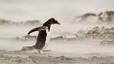 Pingüino papúa avanzando contra el viento, el gran protagonista de las Malvinas.